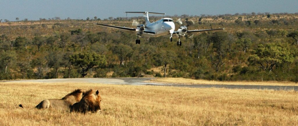 small airplane landing on airstrip at ulusaba game reserve pair of lions in foreground